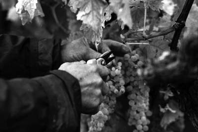 cutting the bunches of grapes