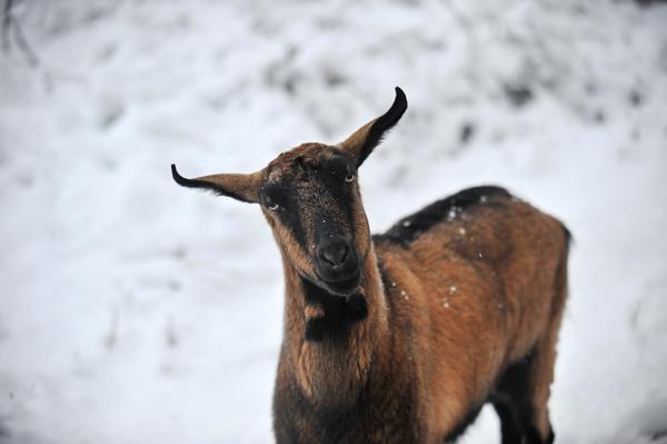 Hilda the unlucky goat