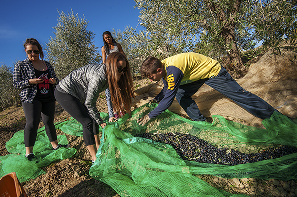 Olive picking in Umbria, pics by Nick Cornish